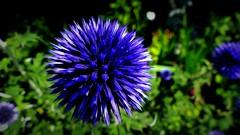 Roślina. (andrzejskałuba) Tags: polska poland pieszyce dolnyśląsk silesia sudety europe panasonic lumix fz200 roślina plant natura nature niebieski blue zieleń green garden ogród kwiat flower 100v10f