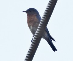 Eastern Bluebird, Sialia sialis (asterisktom) Tags: greenville southcarolina july 2017 bird vogel ave 鸟 niao птица 鳥 easternbluebird sialiasialis bluebird