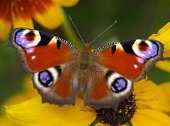 Inachis io // rusałka pawik (stempel*) Tags: polska poland polen polonia gambezia 50mm pentax k30 motyl inachis io rusałka pawik butterfly macro makro owad insect sade budy