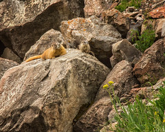 marmot and her baby (maryannenelson) Tags: colorado spencerbasin silverton mountains wildflowers marmots baby rocks