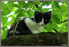 Sur un arbre, perchée ! (Les photos de LN) Tags: kitten cat chaton chatte félin animaldomestique animaldecompagnie