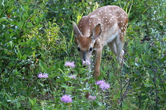 White-tailed Fawn  7392 (robenglish64) Tags: whitetailed fawn