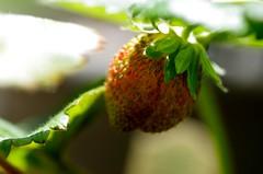 Strawberry ripening (Niki Gunn) Tags: pentax k5 july 2017 tamron 90mm macro tamron90mmmacro tamronspaf90mmf28 tamron90mm tamron90mmf28 strawberry plant