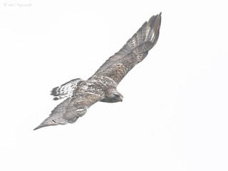 Rough-legged Hawk -- Adult Male