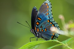 Red-spotted Purple Butterfly. (K.Yemenjian Photography) Tags: redspottedpurplebutterfly redspottedpurple redspotted colors colorful details beautyofnature flying nature 300mm canont5i