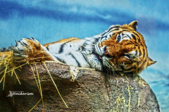 Captive! (haidarism (Ahmed Alhaidari)) Tags: cative animal tiger feeling sad nature zoo potterparkzoo lansing michigan macro macrophotography sonya65 sigma105mm depthoffield bokeh captivity ngc