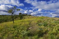 Franky in the Bush! (maginoz1) Tags: landscape flora fauna kangaroo cat franky gumtree bush tranquility winter july 2017 bulla melbourne victoria australia canon g3x