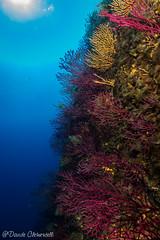 IMG_6057 (davide.clementelli) Tags: scuba underwater underwaterlife diving dive immersione portofino colori colors colore color fishes fish pesci
