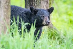Black Bear Surprise (Glatz Nature Photography) Tags: blackbear eyecontact eyelevelview forest glatznaturephotography greatlakes minnesota nature nikond5 northamerica northwoods northernminnesota ursusamericanus vinceshutewildlifesanctuary wildanimal wildbear wildlife