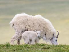 Beartooth Mountain Goats (matthewschonert) Tags: mountain goat goats kid wildlife nature beartooth mountains outdoor wyoming montana mt wy animals natur wild grass custer gallatin national forest