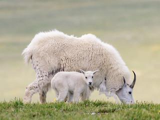 Beartooth Mountain Goats