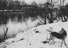 Dogsitting im Winter (One-Basic-Of-Art) Tags: annewoyand woyand anne 1basicofart onebasicofart fotografie foto photographie mono einfarbig monochrom monochrome black white schwarz weis weiss grau gris grey noir blanc animal animals hund dog chien husky welpe klein little schnee snow water donau wasser fluss canon