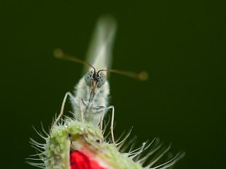 koolwitje - Cabbage butterfly - Kohl-Schmetterling