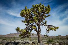 Joshua Tree NP (svubetcha) Tags: landscape flowers arizona sunset bridge hourse mission gas utah