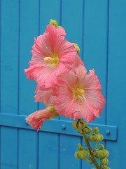 roses trémières. (sylviepapillon) Tags: rose volet fleur