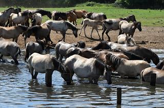 Wildpferde - wild horses