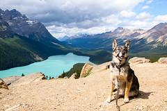 Barney at Peyto Lake (tylerhuestis) Tags: banff banffnationalpark alberta canada nationalpark nature landscape catahoulashepherdmix catahoula glacierlake