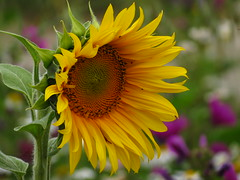 IMG_9214 (germancute) Tags: wildflower nature outdoor blume flower summer sommer wiese
