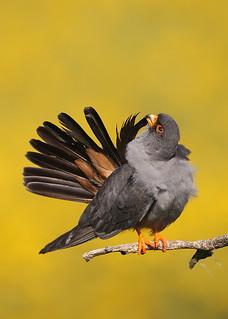 Red-footed Falcon ~ Falco vespertinus