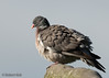 Fluffed wood pigeon! (Jambo53 (!)) Tags: houtduif woodpigeon robertkok netherlands nederland holland windy nature natuur nikond800 nikon500mmf4 groenehart bird vogel garden tuin duif