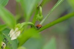 Macro-LadyBugs_182 (ZieBee Media) Tags: ladybug garden