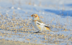 "Snow Bunting <a style=""margin-left:10px; font-size:0.8em;"" href=""http://www.flickr.com/photos/72964621@N02/36006091676/"" target=""_blank"">@flickr</a>"
