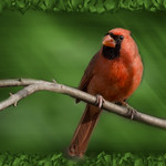 cardinal on a limb thumbnail