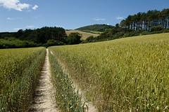 Seatown to Golden Cap (aka Jon Spence) Tags: dorset seatown goldencap southwestcoastpath countryside rural farm agriculture wheat field path langdonhillwoods