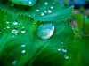 lady`s mantle (Altfreak) Tags: frauenmantel wassertropfen waterdrops ladys mantle alchemilla macro natural jewellery