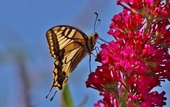Papilio machaon (Hugo von Schreck) Tags: hugovonschreck papiliomachaon schwalbenschwanz butterfly schmetterling falter macro makro insect insekt canoneos5dsr tamron28300mmf3563divcpzda010