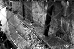 (lemonhats) Tags: asahipentaxsp spotmatic smctakumar11855 marumimcy2 fomapancreative200 1250 f56 classicslr vintagecamera 55mmf18 m42screwmount manualfocusprimelens normallens yellowcontrastfilter iso200 白黒、blackandwhite 35mmprintfilm kodakd76 homedevelopment traditionalphotography analoguephotography filmphotography filmisnotdead filmisalive shootfilm believeinfilm filmcommunity filmforever fpper walking nerimaku tokyoto japan springtime suburbanpastoral convexmirror reflections