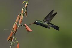 Broad-billed Hummingbird (www.studebakerstudio.com) Tags: broadbilled hummingbird broadbilledhummingbird bird nature wildlife studebaker cavecreek arizona