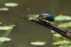 Kurzer prozess KO und zack wird der Fisch auch schon an die Jungen verfüttert(Alcedo atthis) Wildlife,Wümmeniederung-Bremen. ©Arne Flemke (Cristoforo Colombo) Tags: eisvogel kingfisher bremen wümme wümmewiesen