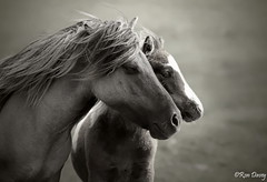 Mother and foal on Dartmoor, UK. (ronalddavey80) Tags: monotone dartmoor pony foal wildlife canon eos70d tamron 70300m