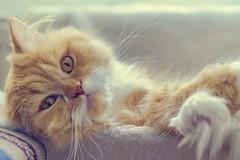 chill out (koolandgang) Tags: chillout reis cat persian kedi irankedisi pisipisi mioumiou nikond700 nikon2470