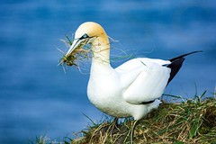 Gannet- Nest Making (sarahschnoodle) Tags: nationalgeographic natgeo birdsbirdsandmorebirds flickrbirds 1000views 40faves photography flickr wildlife ornithologist birds bempton rspb