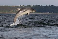 Bottlenose Dolphin - Chanonry point (Ally.Kemp) Tags: moray firth bottlenose dolphins dolphin calf jumping leaping breaching wild free fortrose rosemarkie scottish scotland 2017 juvenile evening light