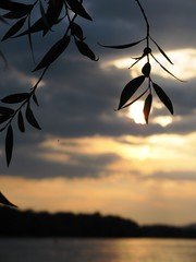 catch the sun (s~lverspr~ng) Tags: sunset dusk river riverbank leaves silhouette wind waves clouds horizon sway branch willow danube