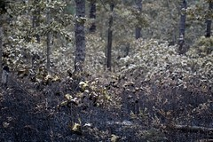 Wharton State Forest (elisecavicchi) Tags: pitch forest woods fire barrens wharton state hammonton burned batsto new jersey nj macro floor understory focus explore lightning strike dry months july summer burnt charred charcoal blackened seeds heat