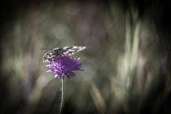 Good Morning Sunday! (ursulamller900) Tags: melanagriagalathea pentacon28100 butterfly schmetterling schachbrett bokeh scabiose meadow insekt