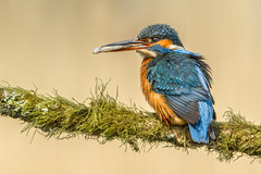 Catch of the day (Blake Wardle DPAGB) Tags: explore canon kingfisher nature wildlife 400mm 7d2 prey blue fish