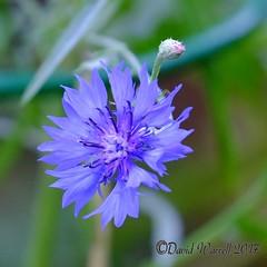 Cornflower (David Warrell) Tags: fujixe2 fujixf100400mmf4556rlmoiswr inthegarden closeup cornflower gardenflower wildflower bluecornflower uk florafauna northamptionshireuk