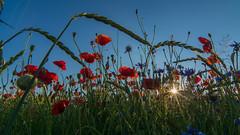 Die Sonne im Kornfeld - The sun in the cornfield (ralfkai41) Tags: flowers sonne sonnenuntergang getreide poppies outdoor natur cornflowers sun corn sunset blossoms blüten kornblumen feld field nature mohnblumen blumen