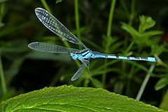 Rolf_Nagel-Fl-3317-Enallagma_cyathigerum (Insektenflug) Tags: enallagmacyathigerum commonbluedamselfly gemeinebecherjungfer becherazurjungfer almindeligvandnymfe enallagma cyathigerum common blue damselfly gemeine becherjungfer almindelig vandnymfe libelle libellen odonata zygoptera im fliegend flying flight airborne moor bog wildlife nature animal animals wild freilebend camera insects wilhelmshaven deutschland eos fauna fliegen flug germany natur naturfoto naturfotografie niedersachsen insekt insekten kamera zoologie insect imflug inflight insektenflug minoltaerokkor75mm erokkor minolta rokkor 75mm envole en vole