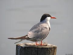 Common Tern (Corine Bliek) Tags: bird birds vogel vogels nature natuur lake meer water sternahirundo wildlife