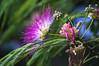 DSC01784 (nemethlaci_győr) Tags: flower albizia