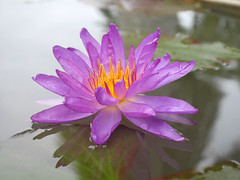 Nymphaea 'Turtle Island Violicious' ISG (HxT) Water Lily Klong15 006 (Klong15 Waterlily) Tags: turtleisland violiciouswaterlily thailandwaterlily isgwaterlily intersubgenericwaterlily purplewaterlily hxtwaterlily nymphaea