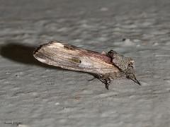 Red-washed Prominent, Oligocentria semirufescens (Marv and Sue Elliott) Tags: 2017 oligocentriasemirufescens summer vermont moth redwashedprominent
