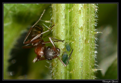 Formica rufibarbis & Aphis urticata