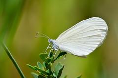 Leptidea sinapis (jotneb) Tags: natureza butterfly borboletas lepidoptera animais insectos vidaselvagem portugal verão arlivre